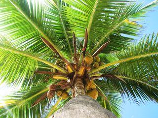 Tapcoconut